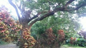ムーチー伝説由来の場所には、願いを叶える木がある